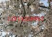 蘇州櫻花樹價格、櫻花樹價格、庭院設計、別墅綠化公司、桂花樹報價