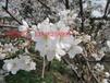 蘇州庭院別墅花木,蘇州造型黃楊樹,蘇州庭院花木批發