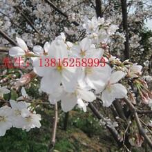 苏州庭院别墅花木,苏州造型黄杨树,苏州庭院花木批发