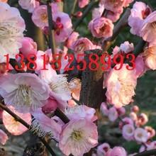 梅花树盆景、苏州大型梅花树基地、红绿梅、苏州庭院别墅绿化、别墅果树花树