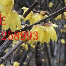 私家花园别墅庭院景观绿化工程,苏州造型瓜子黄杨,果树景观树造型树批发