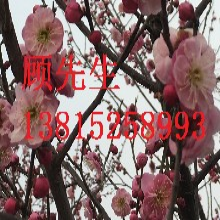 苏州梅花树,苏州苗木绿化景观盆景苗圃,梅盆,造型梅花树桩,苏州梅花盆景