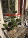 蘇州造型小葉瓜子黃楊,景觀造型樹,盆景古樁樹樁果樹,花木造型大型紫薇
