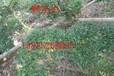 蘇州女貞,造型小葉大葉女貞,綠化苗木苗圃,蘇州苗木市場