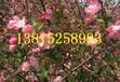 蘇州海棠花,西府海棠樹,蘇州垂絲海棠,綠化苗木批發