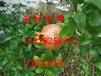 蘇州石榴樹,水晶石榴樹,紅石榴,蘇州花木苗木基地