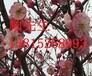 蘇州紅綠梅,大型梅花樹,造型梅花樹,蘇州景觀綠化