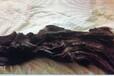 乌木一般市场上能卖多少钱?哪里有人直接收乌木阴沉木的?