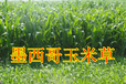 高丹草苏丹草黑麦草种子