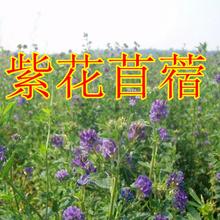 亿粒鑫)高丹草苏丹草种子墨西哥玉米菊苣黑麦草批发零售