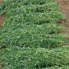 益阳高丹草黑麦草菊苣墨西哥玉米种子信誉保证