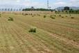 洛阳高丹草黑麦草菊苣墨西哥玉米种子信誉保证