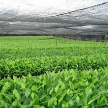 廣西農科院組培香蕉苗、西貢粉蕉苗、廣粉蕉1號圖片