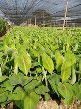廣西南寧(農科院)培育威廉B6香蕉苗西貢粉蕉苗金粉一號圖片