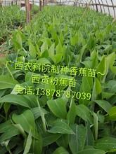 廣西香蕉種植、廣西西貢粉蕉種植、金粉蕉種植、香蕉種植、圖片