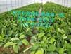 廣西香蕉苗、廣東香蕉苗、廣西廣粉一號蕉苗、廣西粉蕉苗