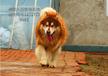 潮州阿拉斯加价格阿拉斯加夏天可以剃毛么阿拉斯加幼犬
