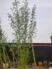 山西省太原市仿真毛竹假竹子工程使用竹子3米4米