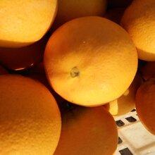 秭归脐橙.纽荷尔大量上市,果园看货,以质论价图片
