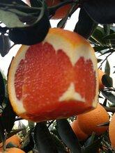 中华红脐橙大量上市,欢迎来园看果订购图片