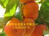 最新2公分柿子树价格、2公分柿子树苗、2公分柿子树苗价格