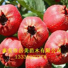 3公分山楂树一棵结多少果、3公分山楂树苗价格