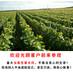 巨峰葡萄价格哪里有巨峰葡萄葡萄树苗哪里便宜
