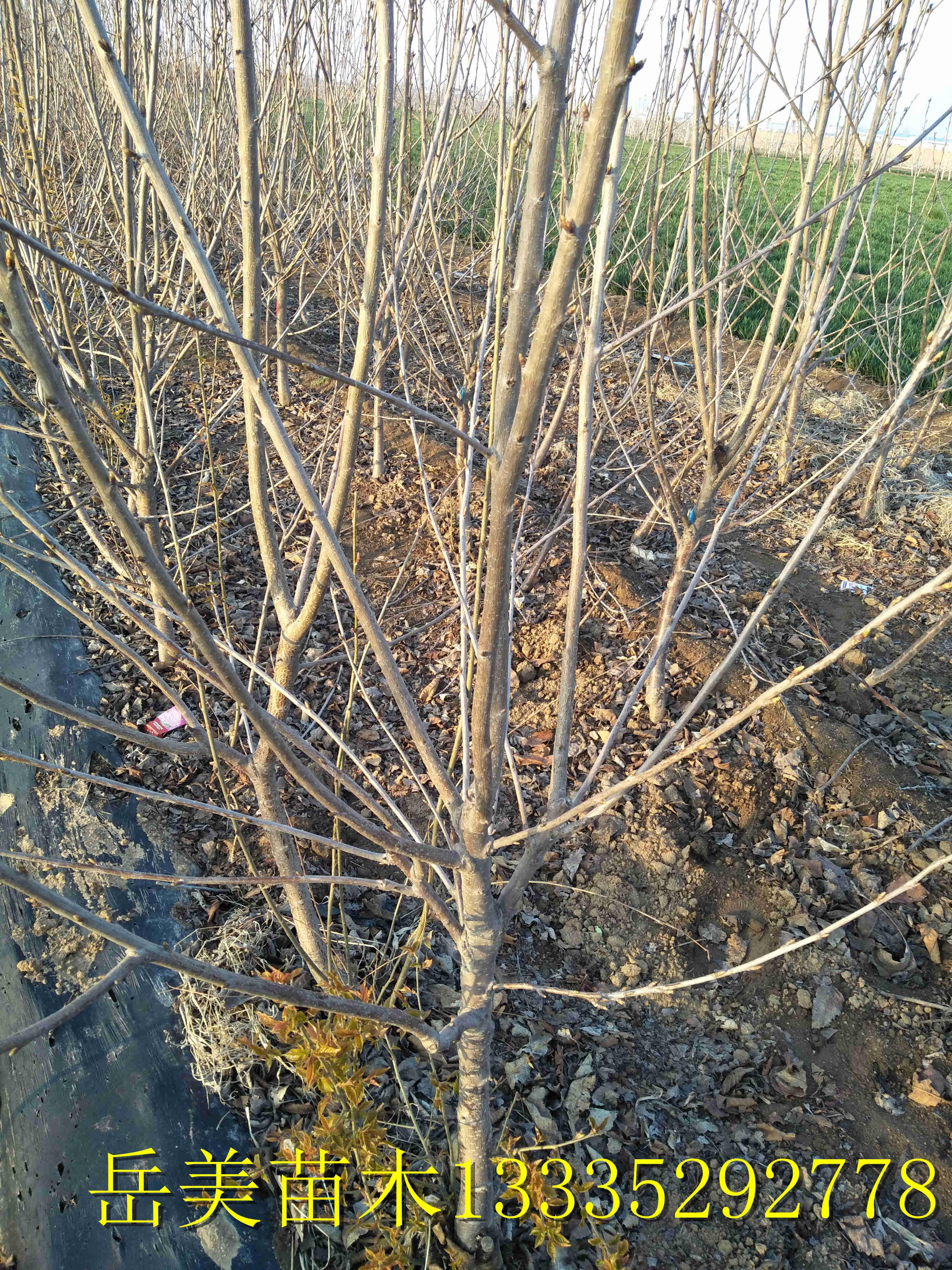 1公分2公分品种樱桃树苗哪里有卖樱桃小苗多少钱一棵