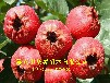 供应0.8公分当年嫁接山楂树苗山楂树苗种植技术