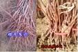 供應3年生葡萄樹苗3年巨峰葡萄苗哪里有價格多少