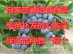 供应80公分高2年蓝莓苗蓝莓树苗价格2年蓝莓苗