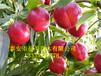 4公分鲁星油桃树苗多少钱一棵