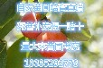 供应富有甜柿子树苗自然脱涩甜柿子树苗