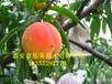 供应黄桃罐头桃树苗5公分黄桃树苗价格