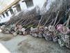 供应5公分8公分樱花绿化树绿化工程樱花树价格樱花树哪里有