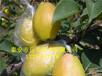 1米梨树苗粗度1公分梨树苗高度1米梨树苗粗度1公分梨树
