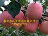 供应当年苹果小苗1年苹果树苗0.8公分苹果苗
