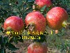 供应1年石榴小苗0.8公分石榴树苗0.8公分甜石榴树苗