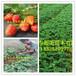 草莓苗大棚怎么种植,草莓苗草莓苗价格