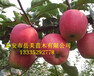 苹果矮化砧木m9t337密植栽培的意义