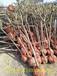 介绍丰园红杏种植方法丰园红杏树适合哪里种植