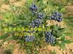 供应2年苗布里吉塔蓝莓苗基地大量出售
