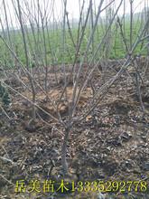 美早大樱桃树苗介绍,这种樱桃树苗价格合理,适合南方种植