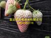 红袖添香草莓苗露地草莓苗最新草莓苗品种