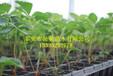 草莓苗大棚怎么种植草莓苗草莓苗价格优质牛奶草莓苗批发