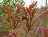 适合南方种植的香椿树苗供应1公分-6公分香椿树苗