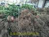 供应2米高北海道黄杨2米高北海道黄杨价格