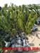 供应80公分高樱桃树苗出售80公分高1年樱桃苗