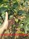 供应1.2米高梨树苗1年梨树苗长多高