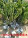 岱红樱桃苗价格3.5元米径1公分地径1.3公分冠幅20公分